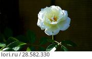 Купить «Beautiful white blooming roses», видеоролик № 28582330, снято 14 июня 2018 г. (c) Peredniankina / Фотобанк Лори