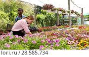 Купить «Man and woman florists working in sunny greenhouse full of flowers», видеоролик № 28585734, снято 27 апреля 2018 г. (c) Яков Филимонов / Фотобанк Лори
