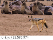 Купить «Black-backed jackal (Canis mesomelas) walking along some watchful Cape fur seals (Arctocephalus pusillus) Cape Cross seal colony, Namibia», фото № 28585974, снято 18 августа 2018 г. (c) Nature Picture Library / Фотобанк Лори