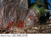 Купить «Welwitschia bugs (Probergrothius angolensis) feeding on the plant's sap, Welwitschia (Welwitschia mirabilis) Swakopmund, Namibia», фото № 28586018, снято 21 июля 2018 г. (c) Nature Picture Library / Фотобанк Лори