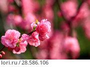 Купить «Flowering gardens in the spring. Beautiful gentle pink flowers on the trees», фото № 28586106, снято 3 апреля 2017 г. (c) Яна Королёва / Фотобанк Лори