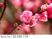 Купить «Flowering gardens in the spring. Beautiful gentle pink flowers on the trees», фото № 28586118, снято 3 апреля 2017 г. (c) Яна Королёва / Фотобанк Лори