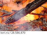 Купить «Trees in plantation burning in forest fire, Egremont, Cumbria, England, UK, August 2006.», фото № 28586870, снято 15 августа 2018 г. (c) Nature Picture Library / Фотобанк Лори