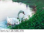 Купить «The white swan is swimming near the shore», фото № 28588370, снято 24 июля 2017 г. (c) Александр Сергеевич / Фотобанк Лори
