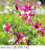 Купить «Blooming flower of columbine (aquilegia) red and white on a green background», фото № 28599142, снято 16 июня 2018 г. (c) Светлана Евграфова / Фотобанк Лори