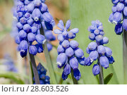 Купить «Grape Hyacinth, Muscari sp. Neither a Hyacinth nor a Grape and once classified with Lilies, perennial taxonomically confusing. Scilloideae. Bee plant.», фото № 28603526, снято 10 апреля 2009 г. (c) age Fotostock / Фотобанк Лори