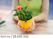 Купить «gardener hands holding flower pot with rose», фото № 28605542, снято 3 марта 2015 г. (c) Syda Productions / Фотобанк Лори