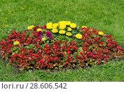 Купить «Бегония вечноцветущая (лат. Begonia semperflorens) и бархатцы (лат. Tagetes) на клумбе в саду», фото № 28606542, снято 15 июня 2018 г. (c) Елена Коромыслова / Фотобанк Лори