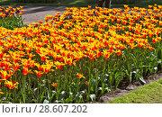 Купить «Тюльпан лилиецветный, жёлтый», фото № 28607202, снято 4 мая 2018 г. (c) Сергей Афанасьев / Фотобанк Лори