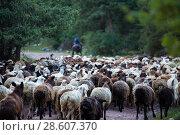 Купить «Shepherd and flock of sheep», фото № 28607370, снято 22 марта 2019 г. (c) Владимир Пойлов / Фотобанк Лори