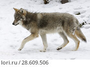 Купить «Eurasian Wolf / Grey Wolf ( Canis lupus ), adult in winter fur, presenting typical distinguishing features in snow covered environment, Europe.», фото № 28609506, снято 30 марта 2010 г. (c) age Fotostock / Фотобанк Лори