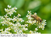 Купить «Bee collects pollen from a flower», фото № 28615562, снято 16 июня 2018 г. (c) Александр Клопков / Фотобанк Лори