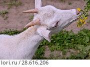Купить «Белая коза жует цветы», фото № 28616206, снято 21 июня 2018 г. (c) Илюхина Наталья / Фотобанк Лори