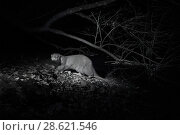 Купить «Otter (Lutra lutra) at night, infra red image. Loutre, Mayenne, France.», фото № 28621546, снято 15 августа 2018 г. (c) Nature Picture Library / Фотобанк Лори