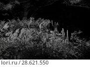 Купить «Genet (Genetta genetta) at night, infra-red image. France. June.», фото № 28621550, снято 15 августа 2018 г. (c) Nature Picture Library / Фотобанк Лори