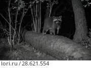 Купить «Racoon (Procyon lotor) male at night, infra red  image, France. Introduced species.», фото № 28621554, снято 16 августа 2018 г. (c) Nature Picture Library / Фотобанк Лори