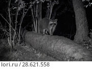 Купить «Racoon (Procyon lotor) male at night, infra red  image, France. Introduced species.», фото № 28621558, снято 16 августа 2018 г. (c) Nature Picture Library / Фотобанк Лори
