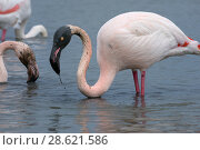 Купить «Great flamingo (Phoenicopterus roseus) with head covered in mud after feeding, Camargue, France. February», фото № 28621586, снято 19 августа 2018 г. (c) Nature Picture Library / Фотобанк Лори