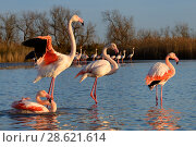 Купить «Greater flamingo (Phoenicopterus roseus) drying wings after bath, Camargue, France. February», фото № 28621614, снято 20 августа 2018 г. (c) Nature Picture Library / Фотобанк Лори
