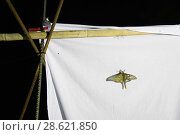 Купить «Spanish moon moths (Graellsia isabellae) male attracted to brightly lit white sheet at night during scientific research, The Ports Natural Park, Catalonia, Spain. June.», фото № 28621850, снято 21 июля 2018 г. (c) Nature Picture Library / Фотобанк Лори