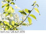 Купить «Цветущая черёмуха (лат. Prunus padus) на фоне голубого неба», фото № 28621870, снято 8 мая 2018 г. (c) Evgenia Shevardina / Фотобанк Лори