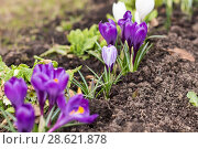 Купить «Первоцвет. Крокусы», фото № 28621878, снято 5 мая 2018 г. (c) Evgenia Shevardina / Фотобанк Лори