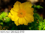 Beautiful yellow adonis flower closeup on a blurred shady background. Стоковое фото, фотограф Евгений Харитонов / Фотобанк Лори