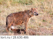 Купить «Spotted hyena (Crocuta crocuta)  pup suckling, Masai Mara National Reserve, Kenya.», фото № 28630486, снято 17 августа 2018 г. (c) Nature Picture Library / Фотобанк Лори