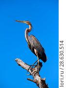 Купить «Purple heron (Ardea purpurea) perched on branch. Baringo lake, Kenya.», фото № 28630514, снято 20 апреля 2019 г. (c) Nature Picture Library / Фотобанк Лори