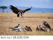 Lappet faced vulture (Aepyoius / torgus tracheliotus) landing on zebra carcass with White-backed vulture (Gyps africanus) and Marabou stork (Leptoptilos... Стоковое фото, фотограф Eric Baccega / Nature Picture Library / Фотобанк Лори