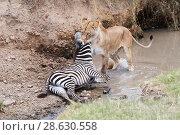 Купить «African lion (Panthera leo), lioness killing plain zebra foal (Equus quagga), Masai Mara National Reserve, Kenya.», фото № 28630558, снято 22 июля 2019 г. (c) Nature Picture Library / Фотобанк Лори