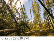 Купить «A 'Drunken forest' in Fairbanks, Alaska where trees are collapsing into the ground due to global warming induced permafrost melt.  Alaska, USA, September 2004», фото № 28630770, снято 19 июля 2018 г. (c) Nature Picture Library / Фотобанк Лори