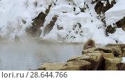 Купить «japanese macaque or snow monkey in hot spring», видеоролик № 28644766, снято 18 июня 2018 г. (c) Syda Productions / Фотобанк Лори
