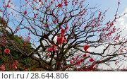 Купить «close up of beautiful sakura tree blossoms at park», видеоролик № 28644806, снято 18 июня 2018 г. (c) Syda Productions / Фотобанк Лори
