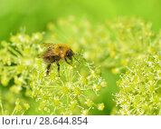Купить «Bee collects pollen from a flower», фото № 28644854, снято 23 июня 2018 г. (c) Александр Клопков / Фотобанк Лори