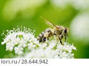 Купить «Bee collects pollen from a flower», фото № 28644942, снято 23 июня 2018 г. (c) Александр Клопков / Фотобанк Лори