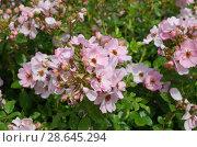 Купить «Цветущий розовый шиповник в парке», фото № 28645294, снято 26 июня 2018 г. (c) Елена Коромыслова / Фотобанк Лори