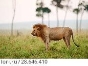 Купить «African Lion (Panthera leo) male, the day after confrontation with buffalo herd, Masai Mara National Reserve, Kenya. Sequence 13 of 13.», фото № 28646410, снято 17 августа 2018 г. (c) Nature Picture Library / Фотобанк Лори