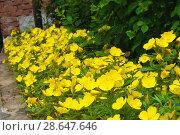Купить «Цветущая энотера кустарниковая (лат. Oenothera fruticosa) на даче», фото № 28647646, снято 24 июня 2013 г. (c) Зобков Георгий / Фотобанк Лори