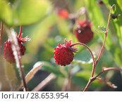 Купить «Red berry forest strawberries in the grass», фото № 28653954, снято 17 июля 2018 г. (c) Ирина Козорог / Фотобанк Лори
