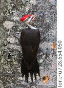 Купить «Pileated woodpecker (Dryocopus pileatus) foraging on tree trunk, Acadia National Park, Maine, USA. February.», фото № 28654050, снято 19 августа 2018 г. (c) Nature Picture Library / Фотобанк Лори