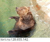 Купить «Бурый медведь в бассейне открытого вольера. Зоопарк. Город Москва», эксклюзивное фото № 28655142, снято 7 мая 2016 г. (c) lana1501 / Фотобанк Лори