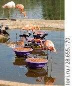 Купить «Фламинго обедают. Московский зоопарк», эксклюзивное фото № 28655170, снято 7 мая 2016 г. (c) lana1501 / Фотобанк Лори