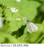 Купить «Бабочка капустница сидит на белом цветке», эксклюзивное фото № 28655446, снято 24 мая 2018 г. (c) Игорь Низов / Фотобанк Лори