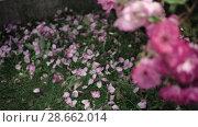 Купить «Flowering bushes in the rose garden, Botanical garden», видеоролик № 28662014, снято 7 июня 2018 г. (c) Ирина Мойсеева / Фотобанк Лори