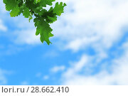 Купить «Natural floral background. Branch with green oak leaves against a background of bright blue with clouds of sky.», фото № 28662410, снято 10 июня 2018 г. (c) Светлана Евграфова / Фотобанк Лори