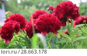 Купить «Пионы в саду. Пион Ред Грейс (Red Grace)», видеоролик № 28663178, снято 12 июня 2018 г. (c) Ольга Сейфутдинова / Фотобанк Лори