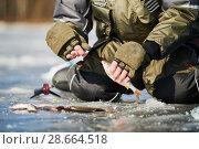 Купить «winter fishing on ice. Roach fish catch in fisherman or angler hands», фото № 28664518, снято 17 марта 2018 г. (c) Дмитрий Калиновский / Фотобанк Лори