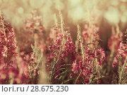 Купить «Цветущий кипрей», фото № 28675230, снято 24 июня 2018 г. (c) Икан Леонид / Фотобанк Лори