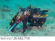 Купить «Flamboyant cuttlefish (Metasepia pfefferi) female hunting for small crustaceans. Anilao, Batangas, Luzon, Philippines. Verde Island Passages, Tropical West Pacific Ocean.», фото № 28682718, снято 16 августа 2018 г. (c) Nature Picture Library / Фотобанк Лори